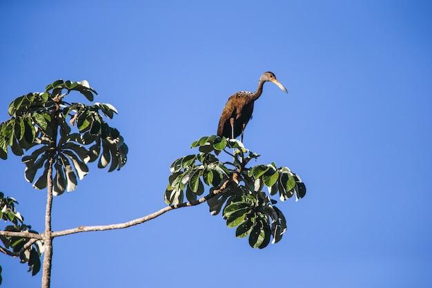 Inquadratura dal basso di un limpkin appollaiato su un ramo di un albero sotto un cielo blu chiaro