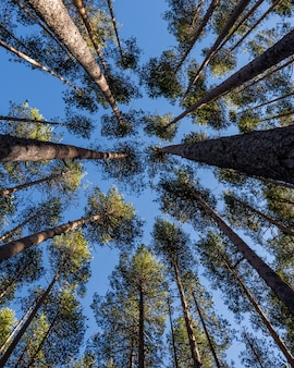Inquadratura dal basso di molti bellissimi alberi ad alto fusto sotto un cielo blu