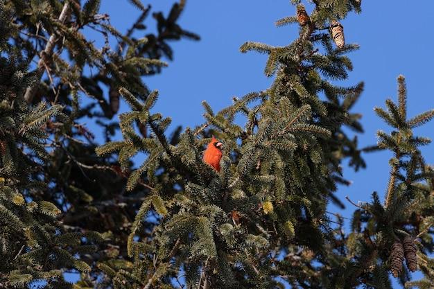 Inquadratura dal basso di un uccello cardinale settentrionale che riposa su un ramo di albero con un cielo blu chiaro