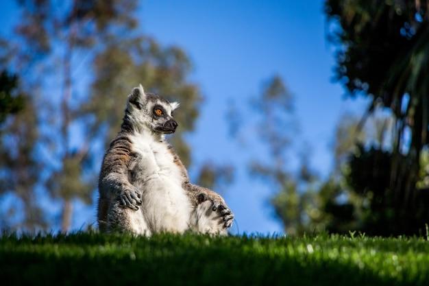 昼間に公園の芝生の上に座っているかわいいキツネザルのローアングルショット