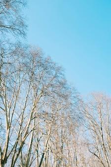 아름다운 푸른 하늘 아래 갈색 leafless 나무의 낮은 각도 샷