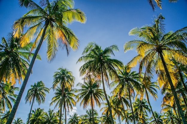 Низкий угол обзора кокосовых пальм на фоне голубого неба и солнца, сияющего сквозь деревья