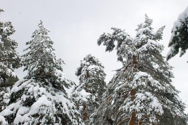日中の野原で雪に覆われた背の高い木のローアングルショット