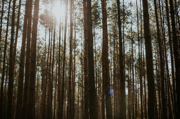 Низкий угол выстрела высоких елей в лесу под сияющим солнцем на заднем плане