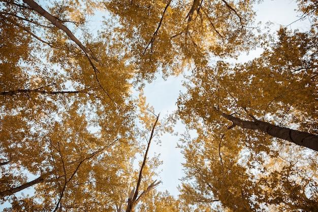흐린 하늘 높이 노란색 leafed 나무의 낮은 각도 샷