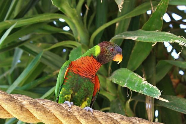 Снимок радужного лорикета, сидящего на веревке под низким углом