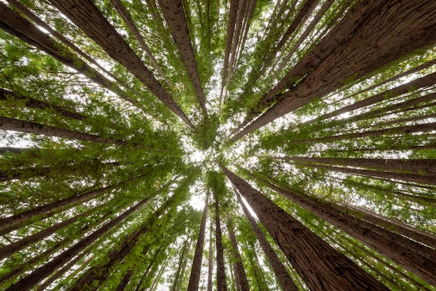 레드 우드 숲에서 나무의 낮은 각도 샷