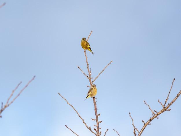 木の枝にとまる2つのオリエンタルグリーンフィンチのローアングルショット