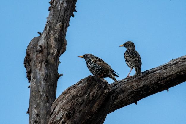 木の枝にとまる2羽のハゴロモガラスのローアングルショット