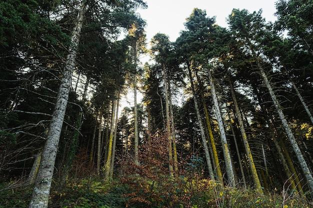 Inquadratura dal basso di alti pini e un cielo bianco