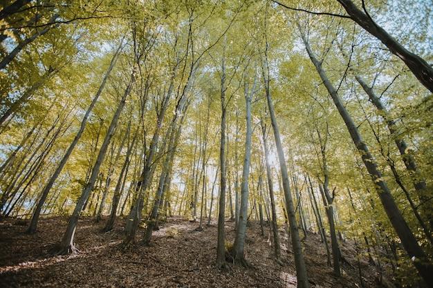 Inquadratura dal basso di alberi ad alto fusto nella foresta sotto la luce del sole