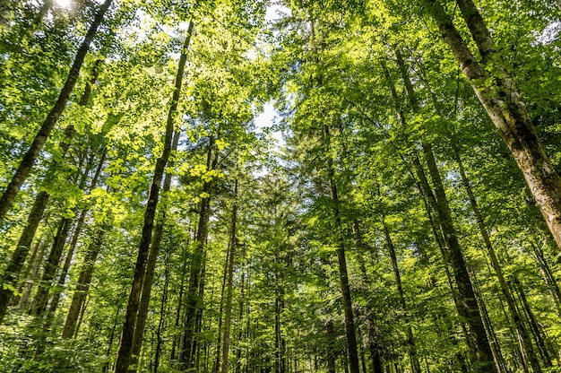 Inquadratura dal basso di alberi ad alto fusto nella foresta in una giornata di sole