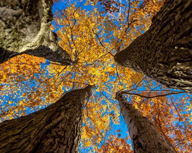 Inquadratura dal basso degli spessi steli di legno di quattro alberi dalle foglie gialle