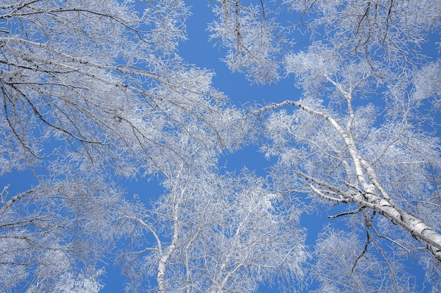 Inquadratura dal basso di alberi coperti di neve con un cielo blu chiaro in