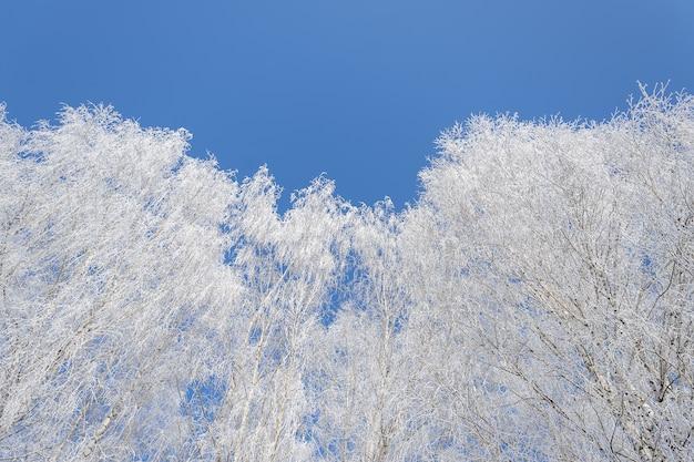 Inquadratura dal basso di alberi coperti di neve con un cielo blu chiaro