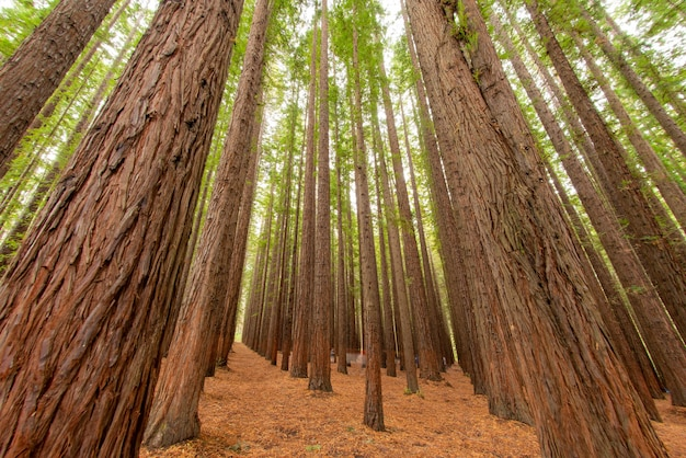 Low angle shot of the trees in a redwood forest