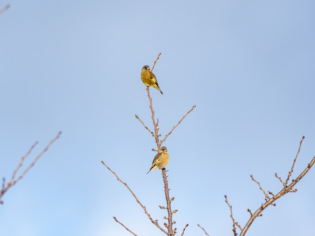 Low angle shot of tw oriental greenfinch perched on tree branch