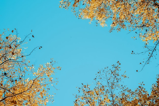 Low angle shot of yellow leafed trees with a blue sky in the background