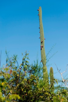 Low angle view of candelabra cactus, puerto baquerizo moreno, san cristobal island, galapagos islands, ecuador