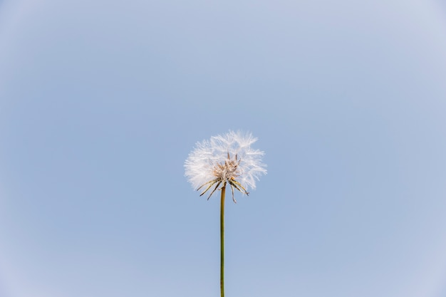 Low angle view of a dandelion flower against clear sky