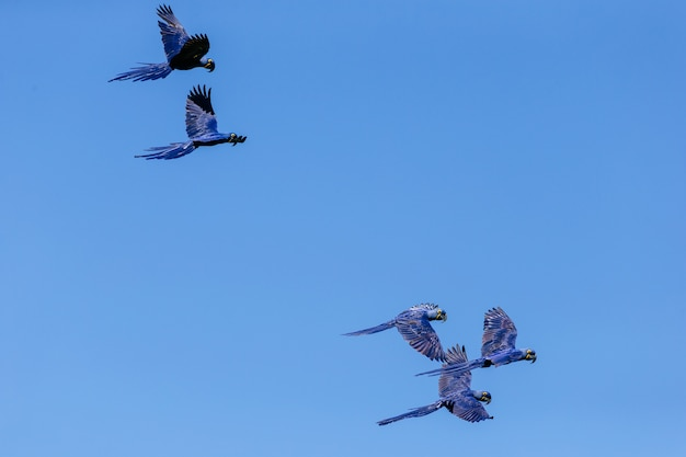 Low angle view of hyacinth macaws flying in the blue sky at daytime