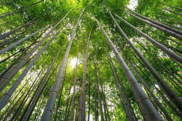 Изображение низкого угла обзора бамбукового леса в арасияме, япония