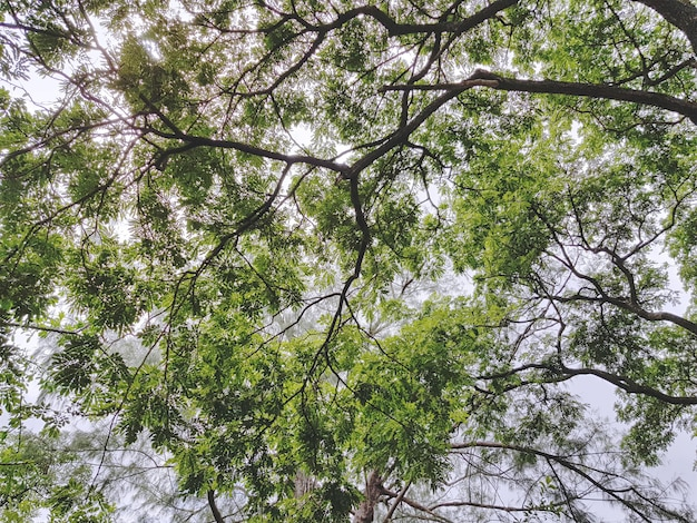 Low angle view under large tree canopy