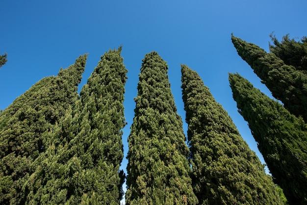 Низкий угол обзора, глядя на высокие цилиндрические вечнозеленые средиземноморские кипарисы на фоне солнечного голубого неба
