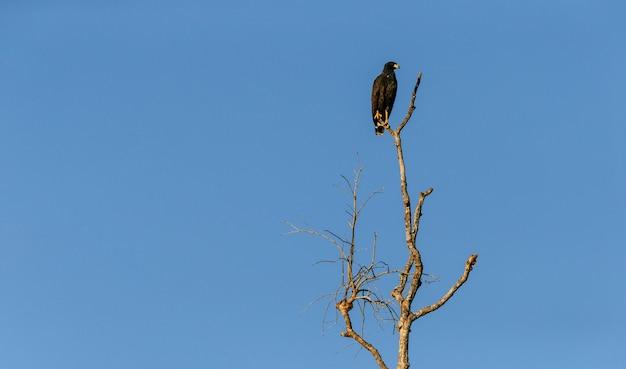 Inquadratura dal basso di un falco nero di mangrovie in piedi su un ramo sotto la luce del sole e un cielo blu