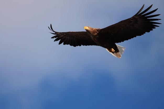 日本の北海道で日光と青い空の下を飛んでいるオジロワシの低角度ビュー
