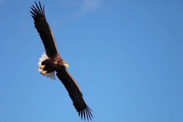 日本の北海道で日光と青い空の下を飛んでいるオジロワシのローアングルビュー
