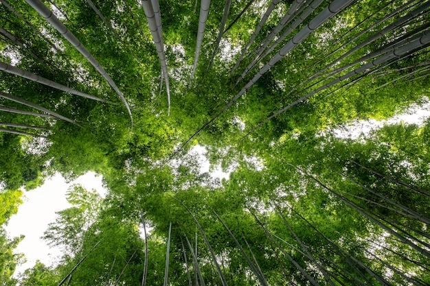日本、嵐山の竹林のローアングルビュー