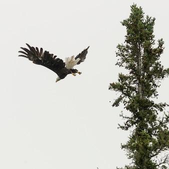 イーグル飛行、レイク・オブ・ザ・ウッズ、オンタリオ州、カナダの低アングルビュー