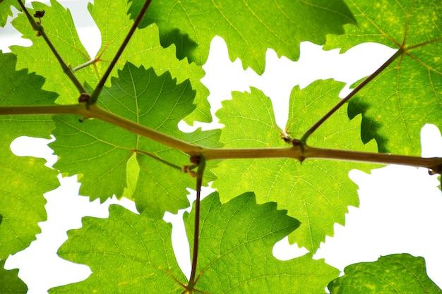 ブドウ園のブドウの葉のローアングルビュー。