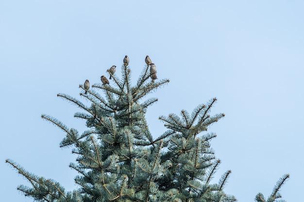 昼間の青い空の下で黒いトウヒの木のスズメのローアングルビュー