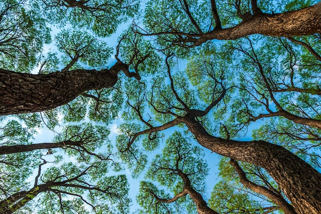 Низкий угол обзора рисунка крон деревьев на фоне голубого неба