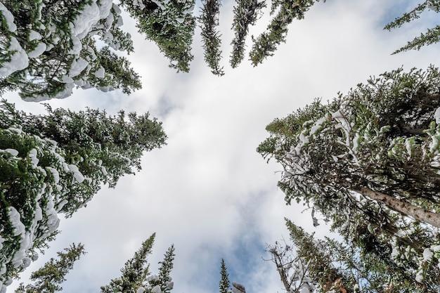 Низкий угол обзора сосны со снегом и облачно в небе зимой в национальном парке
