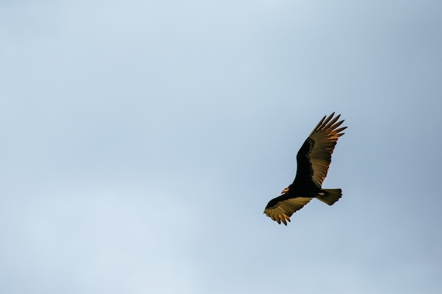 Low angle view of a red-tailed hawk flying in the sky under the sunlight