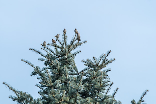 Low angle view of sparrows on a black spruce tree under a blue sky at daytime