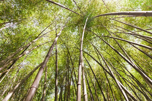 Low angle view of tall bamboo trees