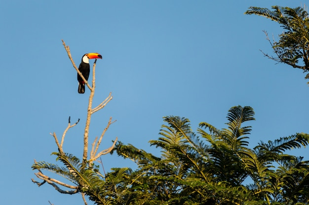 Low angle view of a toco toucan standing on a tree branch surrounded by palms under the sunlight