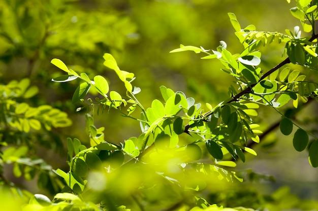 日光の下で新しい葉を持つ低成長低木
