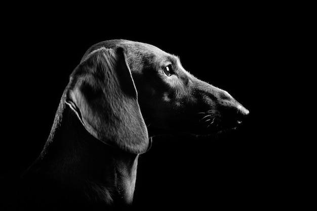 Low key head portrait of a dachshund dog