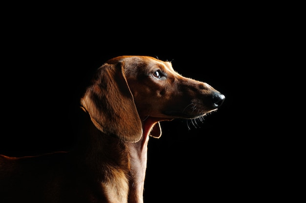 Low key portrait of a dachshund dog looking up to the  copy space area
