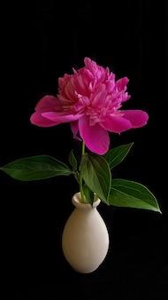 검은 배경에 분홍색 모란 꽃의 낮은 키 샷. 밝은 프로젝트를 위한 완벽한 템플릿입니다.