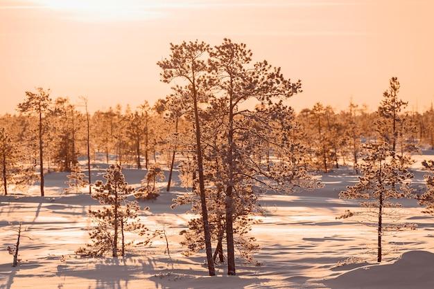 Низкие сосны в снегу зимнего леса на закате в тайге сибири.