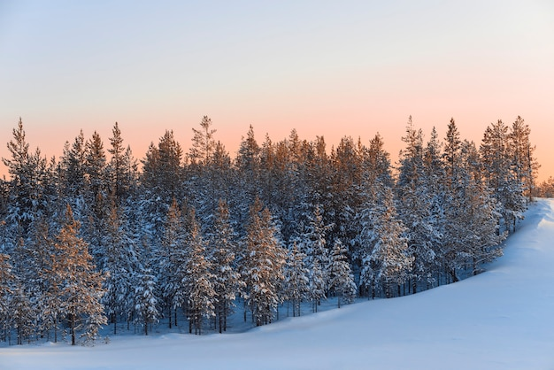 Low pines in the snow of winter forest at sunset in the taiga of siberia.