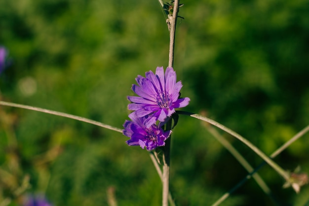 Lowering chicory, purple flowers on the field on a sunny day