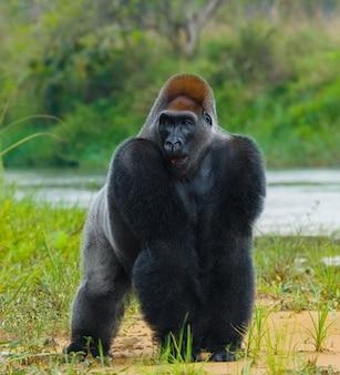 野生の低地ゴリラ。コンゴ共和国 Premium写真