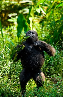 야생의 저지대 고릴라. 콩고 공화국